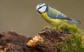 Picture look, background, bird, moss, stump, bird, titmouse, tit, bird