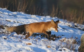 Picture winter, nature, slope, Fox