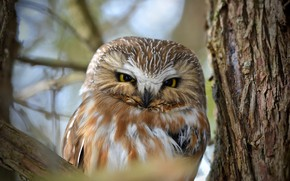 Picture branches, nature, tree, owl, bird, bark, bokeh, Northern Saw-whet Owl