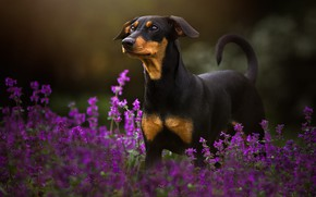 Picture summer, look, face, flowers, nature, pose, the dark background, dog, black, is, lilac