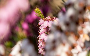 Picture light, flowers, pink, flowering, bokeh, Heather