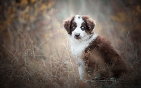 Picture autumn, look, fog, background, stems, foliage, dog, puppy, face, sitting, brown, blurred, dry grass, different …