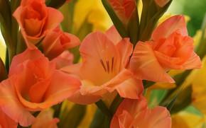 Picture macro, flowers, orange, gladiolus