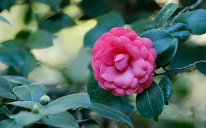 Picture leaves, pink, Camellia