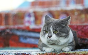 Picture cat, cat, look, grey, background, street, lies, color, chubby, fat face, Munchkin