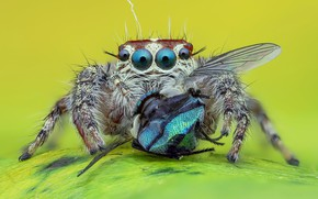 Picture eyes, look, macro, fly, background, spider, predator, jumper, jumper, spider, jumping spider, членистоногое