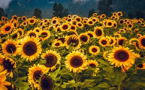 Picture forest, sunflowers, flowers, mountains, fog, yellow, a lot, sunflower, field of sunflowers