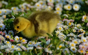 Picture flowers, baby, meadow, Duck