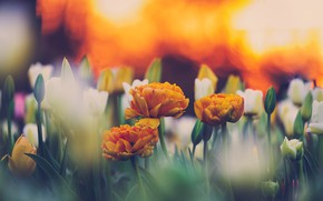 Picture spring, tulips, buds, flowering