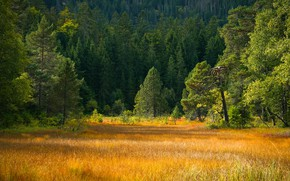Picture autumn, forest, grass, glade, ate, meadow, pine, yellow