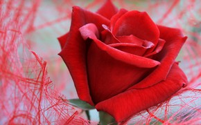 Picture flower, macro, mesh, rose, red