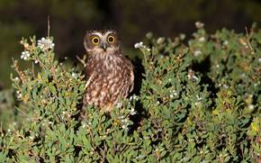 Picture greens, the sun, nature, owl, bird, the bushes, Australia, Victoria, James White, Cape Liptrap, Tasmanian …
