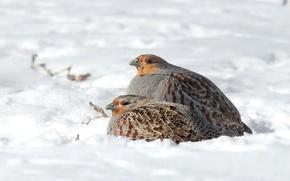 Picture winter, snow, birds, two, pair, partridge