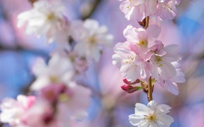 Picture light, flowers, branch, spring, Sakura, pink, flowering, bokeh, blurred background