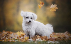 Picture autumn, nature, animal, foliage, dog, lapdog, dog