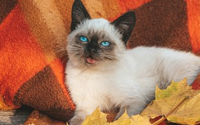 Picture autumn, white, cat, leaves, muzzle, plaid, kitty, blue eyes, Balinese cat