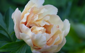 Picture flower, summer, peony, macro flowers nature