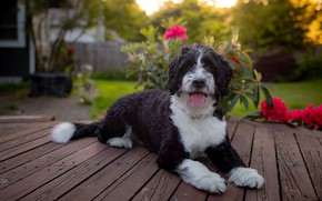 Picture language, summer, look, face, light, flowers, pose, comfort, house, Board, black and white, dog, paws, …