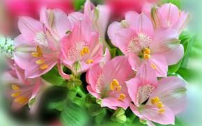 Picture bouquet, pink flowers, Alstroemeria