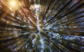 Picture the sun, trees, spruce, crown