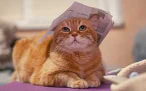 Picture cat, cat, look, face, pose, paper, background, room, leaf, portrait, paws, red, lies, unhappy, Tomcat, …