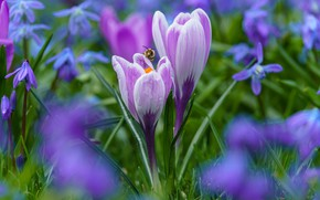 Picture drops, bee, glade, spring, crocuses, lilac, bokeh
