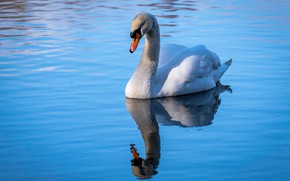 Picture water, reflection, Swan
