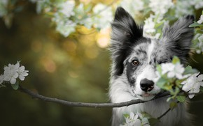 Picture look, flowers, green, background, portrait, dog, branch, spring, flowering, bokeh, the border collie