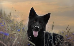 Picture language, summer, the sky, look, face, flowers, background, dog, meadow, black, German shepherd, cornflowers