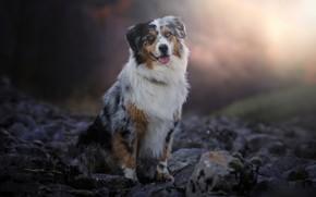 Picture language, light, nature, stones, dog, sitting, Aussie