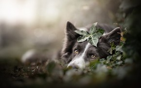Picture look, face, leaves, dog, bokeh, The border collie