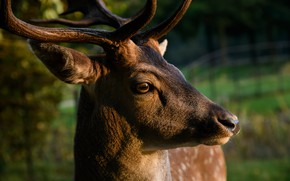 Picture photo, Head, Deer, Face, Animal