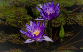 Picture leaves, flowers, pond, the dark background, two, purple, Duo, buds, water lilies, pond, lilac, water ...