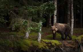 Wallpaper forest, summer, look, face, trees, branches, nature, pose, the dark background, trunks, moss, beauty, bear, ...