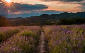 Picture the sun, flowers, hills, path, the ranks, lavender, plantation, lavender field