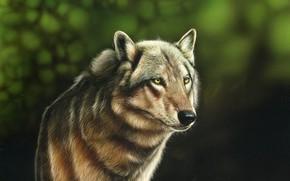 Picture look, animal, wolf, predator