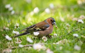 Picture summer, bird, Chaffinch