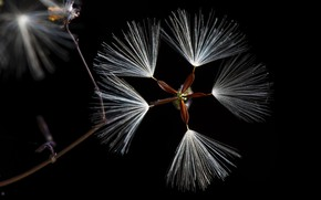Picture macro, seeds, fluff, black background