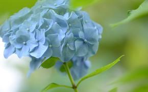 Picture background, blue, hydrangea