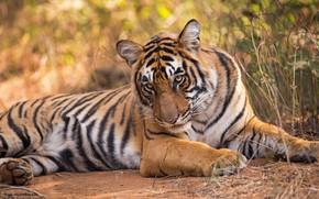 Picture look, tiger, wild cat