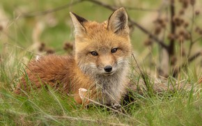 Picture grass, look, face, pose, comfort, glade, red, Fox, cute, lies, Fox, Fox