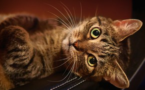 Picture cat, cat, look, face, background, lies, striped