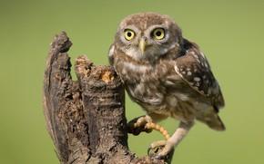 Picture owl, bird, stump, little owl