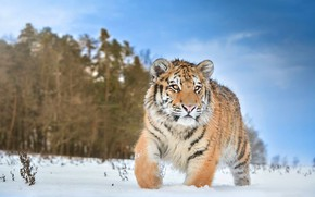 Picture winter, field, forest, the sky, clouds, snow, tiger, baby, walk, tiger, sneaks, tiger
