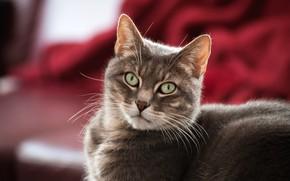 Picture cat, eyes, cat, look, grey, background, portrait