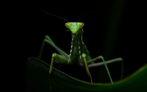 Picture look, macro, pose, green, leaf, legs, mantis, insect, black background, brooding