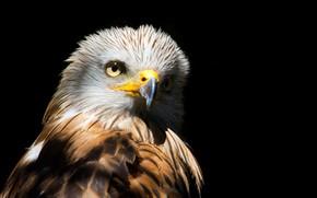 Picture bird, predator, feathers, beak, black background, kite, Red Kite