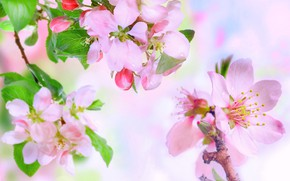 Picture spring, Apple, flowering
