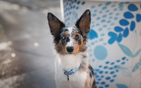 Picture look, face, pose, background, blue, pattern, street, portrait, dog, the sidewalk, the border collie