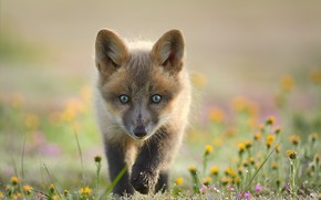 Picture look, flowers, background, Fox, face, Fox